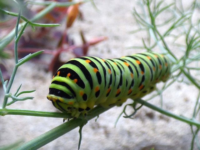 chenille-machaon