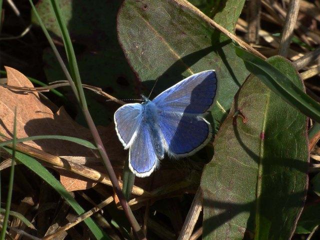 argus-bleu-male